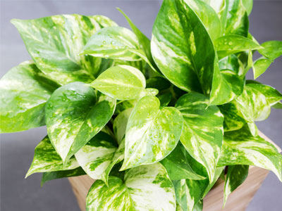 Pothos Plant Care Growing Watering